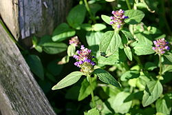 Unknown lamiaceae jun-jul 001.JPG