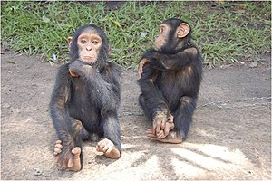 Wildlife of the Central African Republic - Chimpanzees in the Central African Republic.