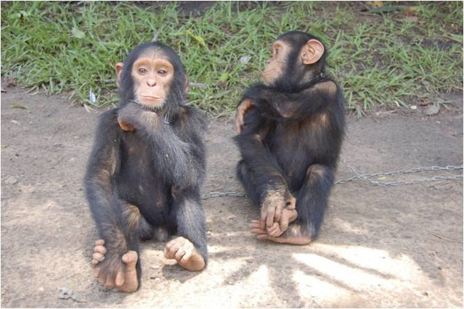 Unnamed - Chimpanzee - Central African Republic