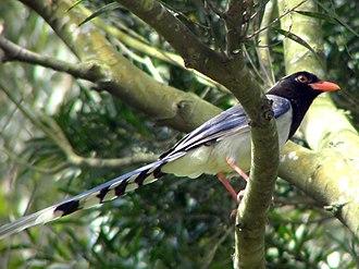 Red-billed blue magpie - Image: Urocissa erythrorhyncha