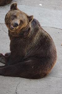 Ursus arctos lasiotus - Beijing Zoo 2.JPG