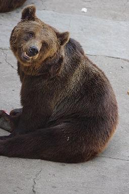 Ursus arctos lasiotus - Beijing Zoo 2