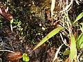 Utricularia striatula-1-upper kothaiyar-tirunelveli-India.jpg