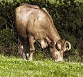 Vaca rubia galega pastando.jpg
