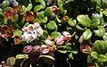 Vaccinium vitis-idaea (bud and flower).JPG