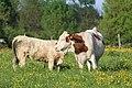 Vaches allée Pré Brus St Cyr Menthon 4.jpg