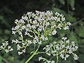 Valerianaceae - Valeriana officinalis-1 (8303609207).jpg