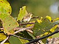 Van Hasselt's Sunbird (Purple-throated Sunbird) (14100130843).jpg