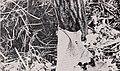 Vanilla culture in Puerto Rico (1948) (20569882215).jpg