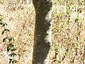 Vateria indica 126.JPG