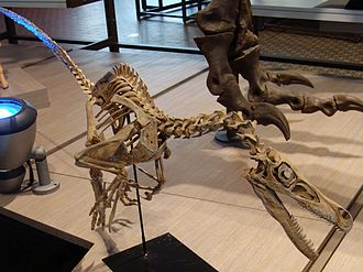 Velociraptor - V. mongoliensis cast, Museum of Natural Sciences, Brussels