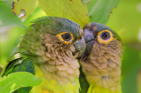 Brown-throated Parakeet couple