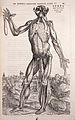 "Vesalius ""De humani..."", 1543; figure Wellcome L0011137.jpg"