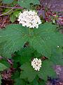 Viburnum acerifolium - Mapleleaf Viburnum 2.jpg