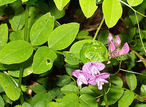 Hecken-Wicke (Vicia dumetorum)