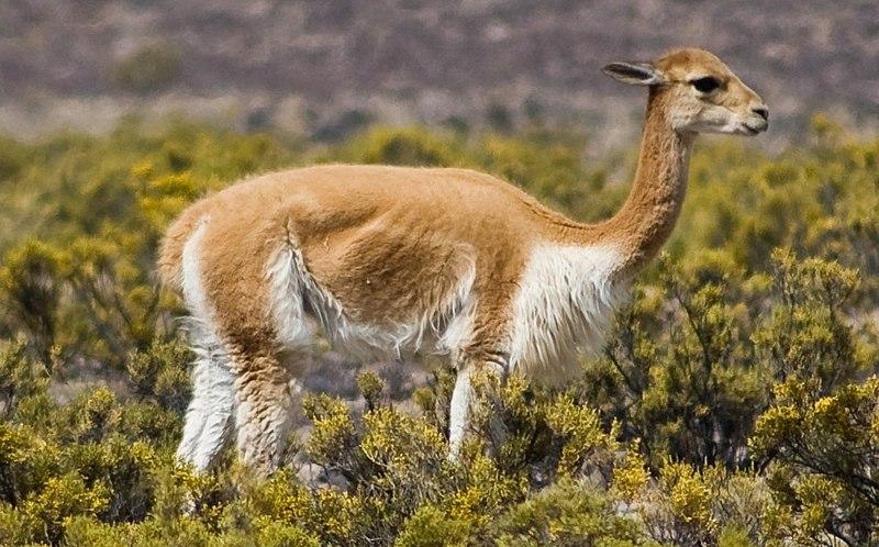 Vicuña peruana