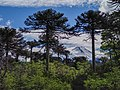 View of the Llaima Volcano through the araucarias from Conguillío National Park in summer.jpg