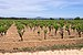 Vineyard, Pinet, Hérault 02.jpg