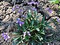 Viola palmata a1.jpg