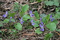 Viola suavis (Hecken-Veilchen) IMG 3257.JPG