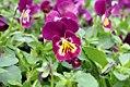 Viola tricolor Ultima Baron Merlot 1zz.jpg