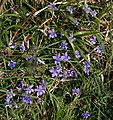 Violets near Coombe Hawne - geograph.org.uk - 1239805.jpg