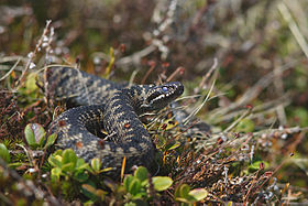 A common adder snake on a slope with mosses, grasses and other vegetation with half its body seen coiled in a figure of eight for striking.