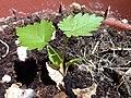 Vitis vinifera sproutling 3.jpg