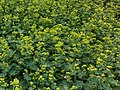 Vrouwenmantel Alchemilla mollis. Locatie, Tuinen Mien Ruys 02.jpg