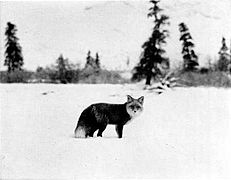 Vulpes vulpes in snow, 1939.jpg
