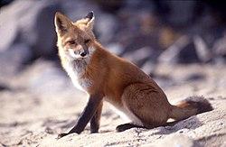 赤狐(Vulpes vulpes)