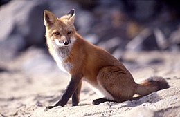 Vörös róka (Vulpes vulpes)