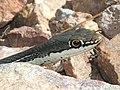 WHIPSNAKE, SONORAN (Masticophus taeniatus) (8-3-12) upper humboldt cyn, patagonia mts, scc, az -02 (7707439054).jpg