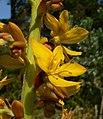 Wachendorfia thyrsiflora 4.jpg
