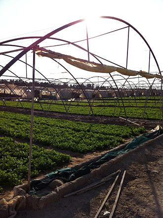 Wafra - Farm in Wafrah