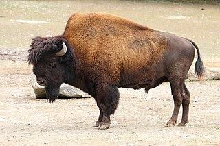 Wood bison subspecies of American bison