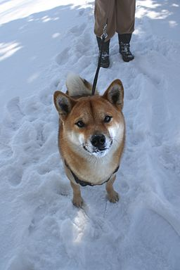 https://upload.wikimedia.org/wikipedia/commons/thumb/d/d5/Walking_dog_in_snow.jpg/256px-Walking_dog_in_snow.jpg