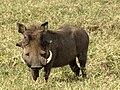 Warthog, male, Serengeti.jpg