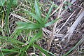 Washingtonia robusta H.Wendl. (AM AK361821-2).jpg
