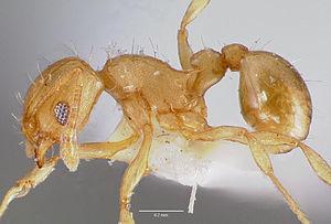 Präparierte Wasmannia auropunctata -Arbeiterin