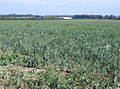 Weedy onion crop south of Thriplow, Cambs - geograph.org.uk - 53279.jpg