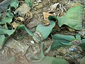 Welwitschia mirabilis - Berlin Botanical Garden - IMG 8695.JPG