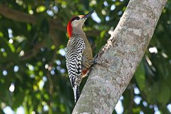 West Indian Woodpecker (Melanerpes superciliaris).jpg