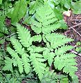 Western Oak Fern (Gymnocarpium dryopteris) along trail to Grinnell Lake - Flickr - Jay Sturner.jpg