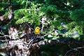 Western tanager (48408016591).jpg