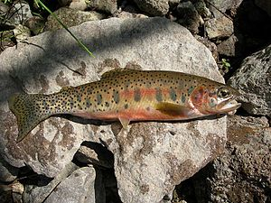 List of fish of montana wikipedia for Montana game and fish