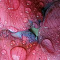 Wet decadent pink (2354650323).jpg