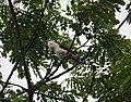 White-headed Wren Campylorhynchus albobrunneus (28084576197).jpg