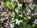 White Heather - geograph.org.uk - 208735.jpg