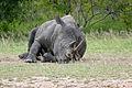 White Rhino (Ceratotherium simum) (16836876663).jpg